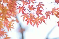Aardachtergrond van kleurrijke Japanse Autumn Maple-bladeren stock foto