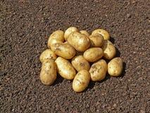Aardappel op grond Stock Afbeelding