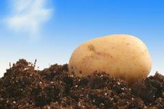 Aardappel op vuil Royalty-vrije Stock Fotografie