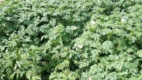 Aardappelaanplanting Royalty-vrije Stock Fotografie