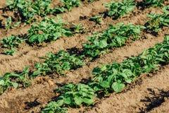 Aardappelbedden in de tuin royalty-vrije stock fotografie