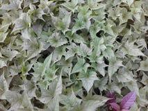 Aardappelbladeren Royalty-vrije Stock Fotografie