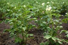 Aardappelbovenkanten in bloesem stock afbeeldingen