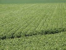 Aardappelgebied Stock Foto