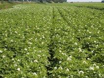 Aardappelgebied Stock Afbeeldingen