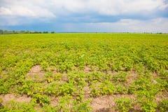Aardappelgebied. Stock Afbeeldingen