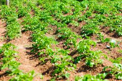 Aardappelgebied, aardappels die in rijen in de tuin groeien stock afbeelding
