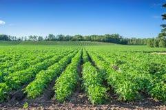 Aardappelgebied, Alberta Royalty-vrije Stock Fotografie