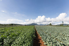 Aardappelgebied in Vietnam royalty-vrije stock foto