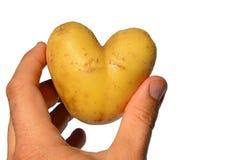 Aardappelknol Solanum tuberosum als hart wordt in linkerhand van de volwassen mannelijke mens, witte achtergrond wordt gehouden g stock afbeeldingen
