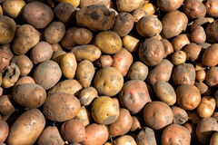 Aardappelknollen in het bulk, geoogste gewas herfst lijden Royalty-vrije Stock Afbeelding