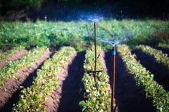 Aardappellandbouwbedrijf die sproeierirrigatie in de zomer gebruiken Royalty-vrije Stock Foto