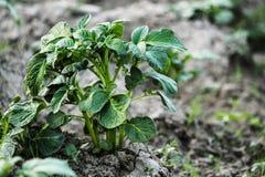 Aardappelplant royalty-vrije stock afbeeldingen