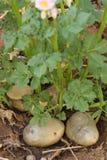 Aardappelplant met verse knollen ter plaatse Stock Fotografie