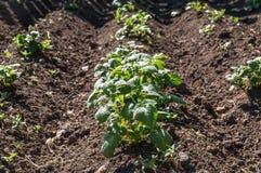 Aardappelplant moestuin Stock Foto's