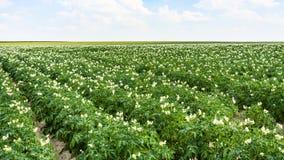 aardappelplant op tuinbedden op gebied in Frankrijk Stock Fotografie
