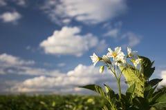 Aardappelplantbloemen op zonnige dag, Midwesten, de V.S. Royalty-vrije Stock Foto
