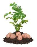 Aardappelplanten Stock Foto