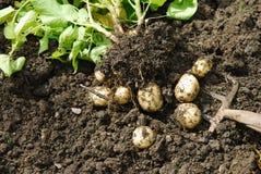 Aardappels. Royalty-vrije Stock Fotografie