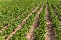 Aardappels die in de tuin groeien Stock Afbeelding