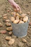 Aardappels in emmer Stock Foto's