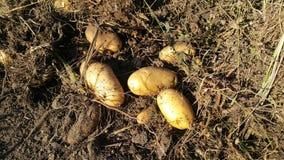 Aardappels het oogsten Royalty-vrije Stock Fotografie