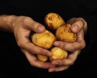 Aardappels in mannelijke handen Royalty-vrije Stock Fotografie