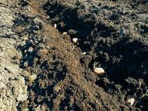 Aardappels met spruiten in de grond op een rij Royalty-vrije Stock Afbeeldingen
