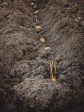 Aardappels met spruiten in de grond op een rij Stock Foto