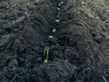 Aardappels met spruiten in de grond op een rij Stock Foto's