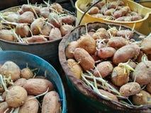 Aardappels met spruiten voor het planten Royalty-vrije Stock Foto's