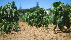 Aardappelsaanplanting met een zonsonderganglicht stock footage