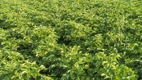 Aardappelsgebied Stock Afbeelding