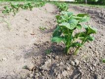 Aardappelspruiten royalty-vrije stock foto's