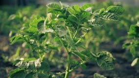 Aardappelstruik in de tuin stock videobeelden