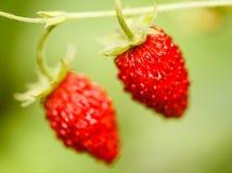 Aardbei Aardbeien Groeiende Organische Bessen Royalty-vrije Stock Afbeelding