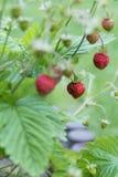 Aardbei in de tuin royalty-vrije stock foto