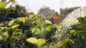 Aardbei het water geven op een hete zonnige dag stock video