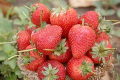 Aardbei, nadruk op groep aardbeien in mand op natuurlijk royalty-vrije stock afbeeldingen