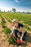 Aardbei oogstende mens met een mand van aardbeien Stock Afbeelding