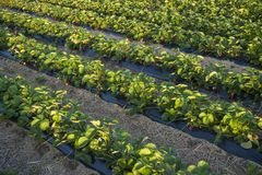 Aardbeiaanplanting Stock Fotografie