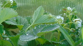 Aardbeibladeren in regendruppels Stock Foto's