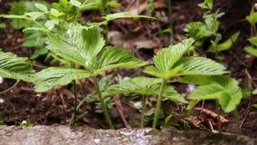 Aardbeibloei in tuin Struiken met witte bloemen en gele midden, groene bladeren Organisch tot bloei komen, stock videobeelden