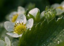 Aardbeibloemen met dauwdalingen Stock Foto's