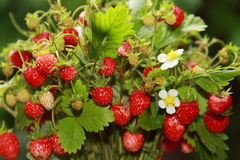 Aardbeien Stock Foto's