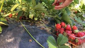 Aardbeien stock video