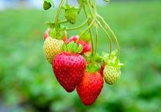 Aardbeien in boomgaard Stock Foto's