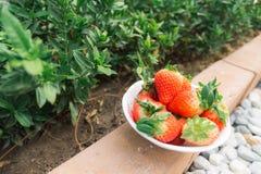 Aardbeien in de tuin Royalty-vrije Stock Afbeeldingen