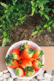 Aardbeien in de tuin Stock Foto's