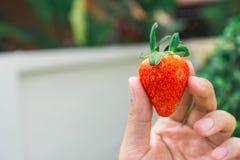 Aardbeien in de tuin Stock Foto